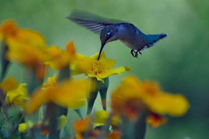 Taken with Nikon D5000 using AF-S Nikkor 70-300mm 1:4.5-5.6 G lens. Enhanced and resized using Photoshop Elements 14.1.
