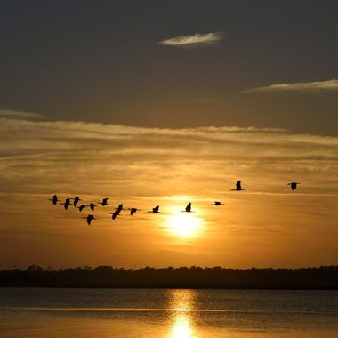 Silhouette of Great White Herons flying over the river at sunset St. Augustine, Florida