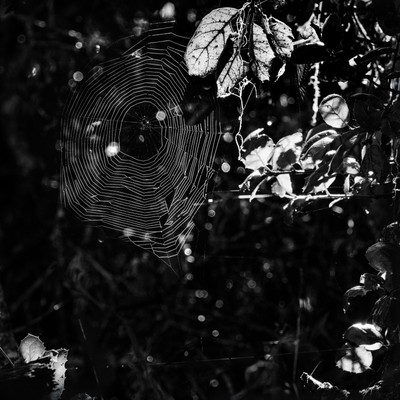 Spider Web and Red Leaf in mono  Morro Bay  20161122  #339 of 365