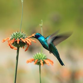 A Sparkling Violetear Hummingbird collecting nectar from an orange Lion's Mane Wildflower in a field in Cotacachi, Ecuador
