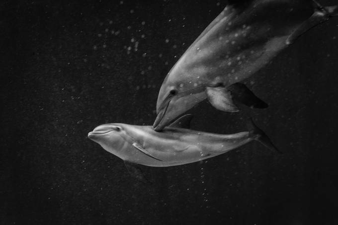 Dolphin love by gaetanocessati - Animals In Black And White Photo Contest