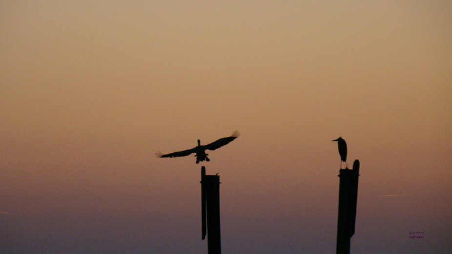 Sunset walk on the beach and discovered these beauties on their perch.