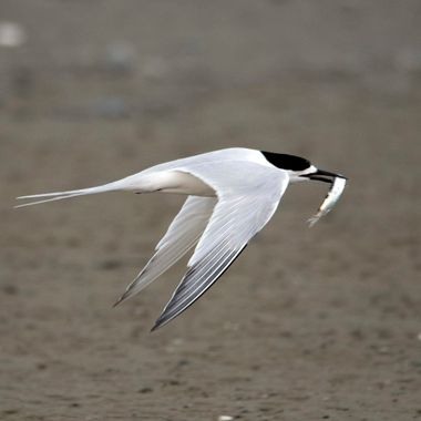 Single Tern with Fish