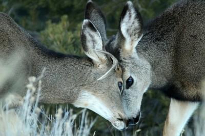 Young Deer Head to Head