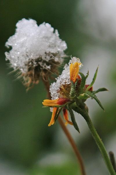 Iced Dandelion