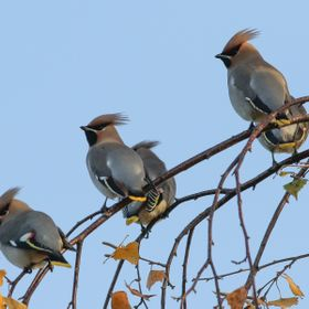 Rare visitors from the North and East. Waxwings named for the drops of red at the tips of the wings that only develop when they are well fed on r...