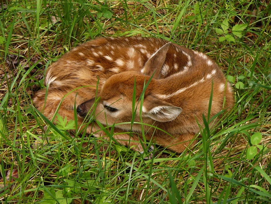 newborn deer curled up in the grass