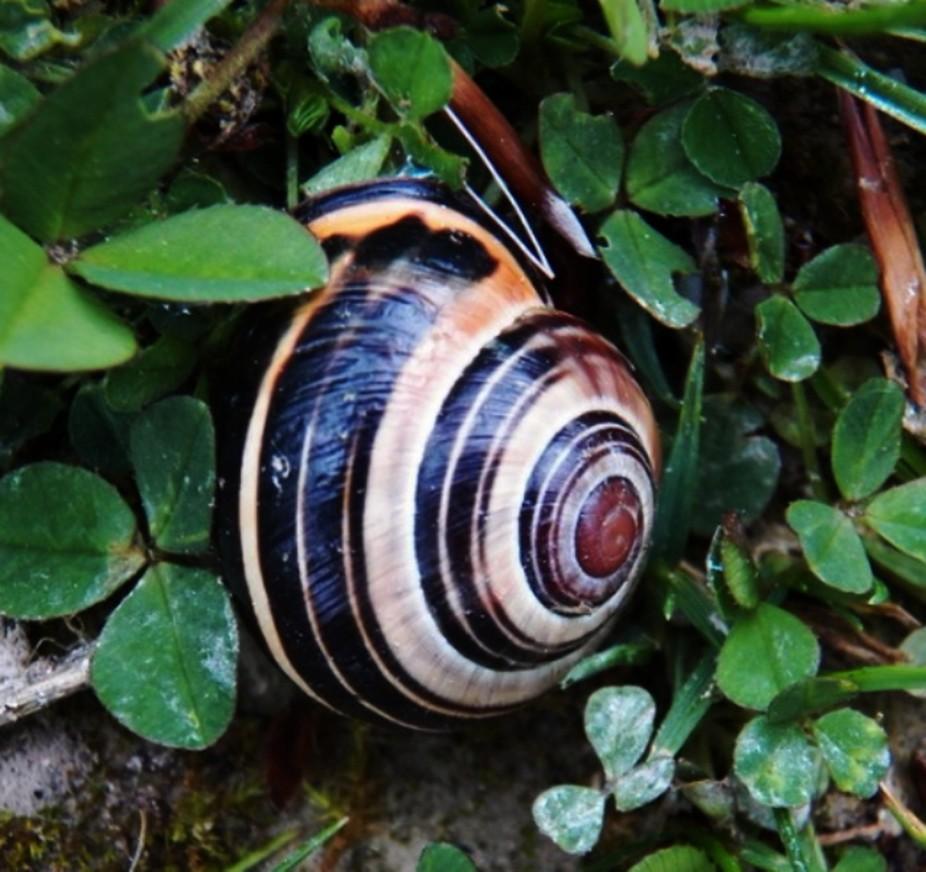 English snail