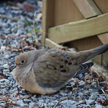 A mourning dove sitting with its tail resting against a wooden planter box.