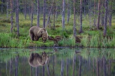 The Bear Refection