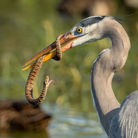 Great Blue Heron tangling with a Banded Water Snake. It was a good battle, but the Great Blue eventually ate his opponent.