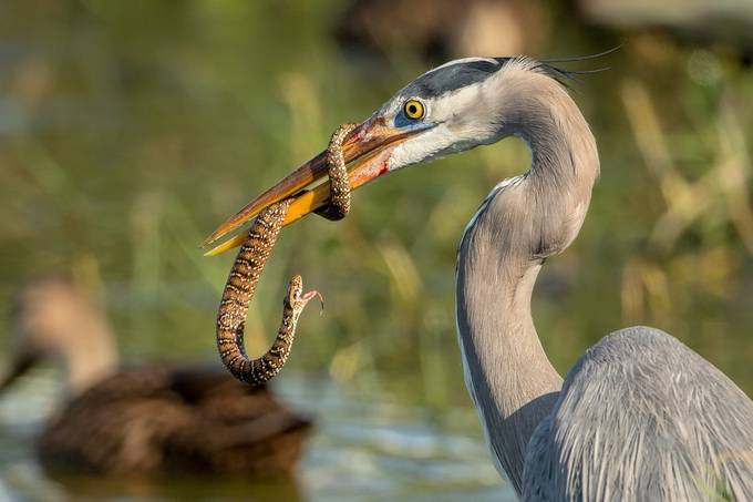 Snake, it's what's for breakfast. by David_Eppley - Food Chain Struggles Photo Contest