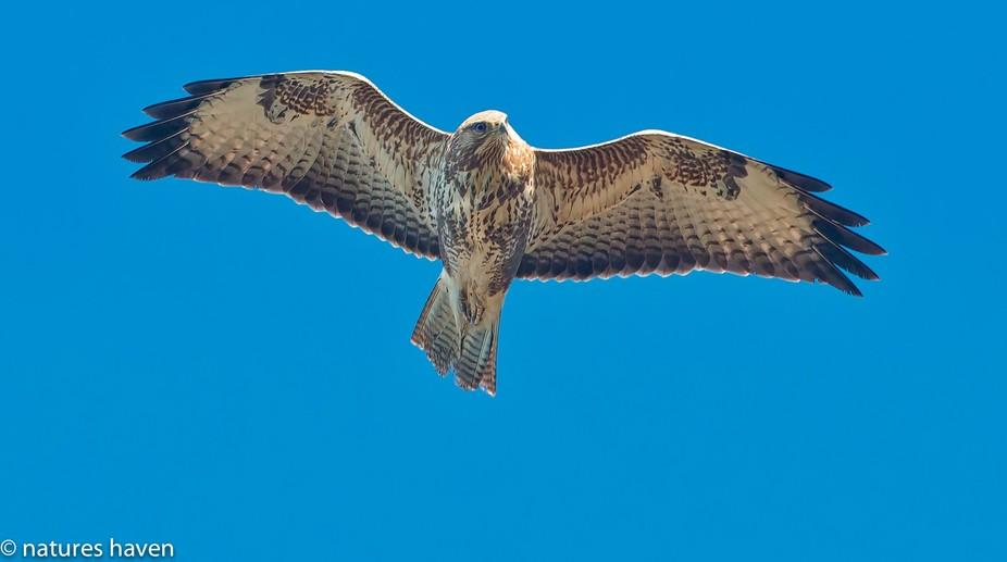 A Buzzard flying overhead.