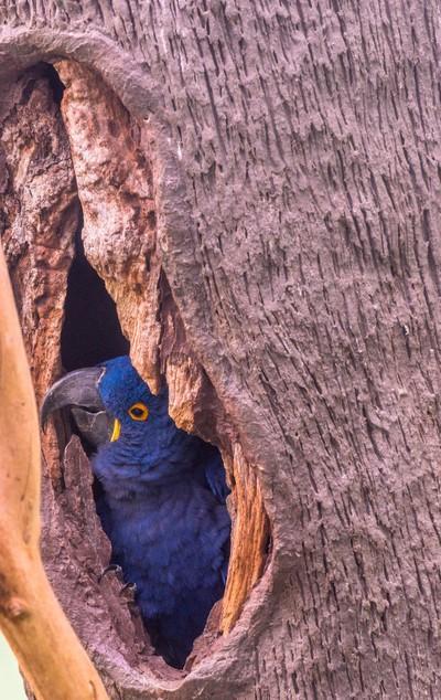 Hyacinth Macaw in a Tree Hole