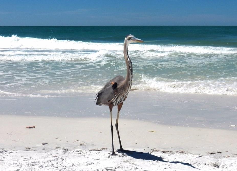 Beach Heron