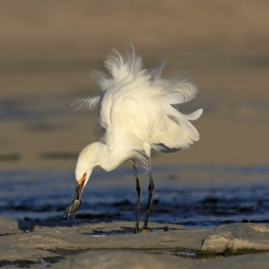 Snowy Egret with fish IMG_8277