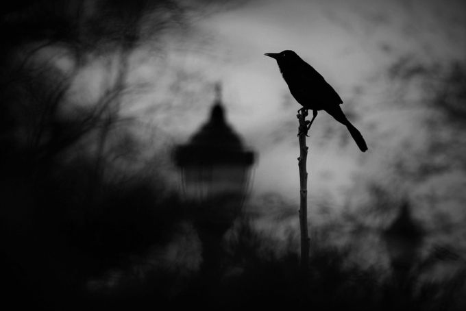 Quoth the Raven. by Michael__Sutton - Shallow Depth Of Field Photo Contest