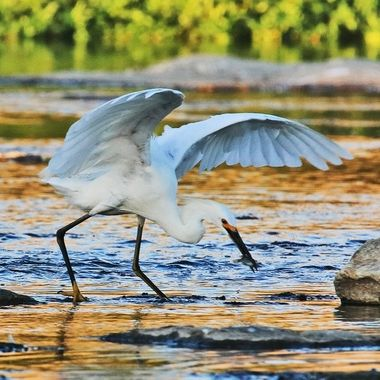 Snowy Egret with fish IMG_7485