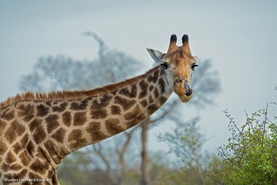 Giraffe Lick