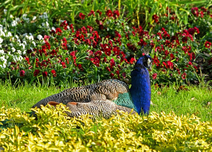 Peacock with Floral Background Magnolia Dec 2016