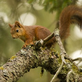 Curious red squirrel on scots pine branch a fall afternoon. Rådmansö, Sweden.
