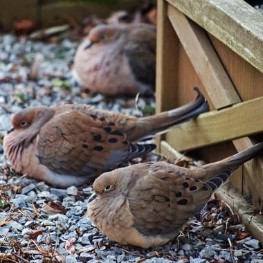 Three mourning doves sitting next to a wooden planter box.
