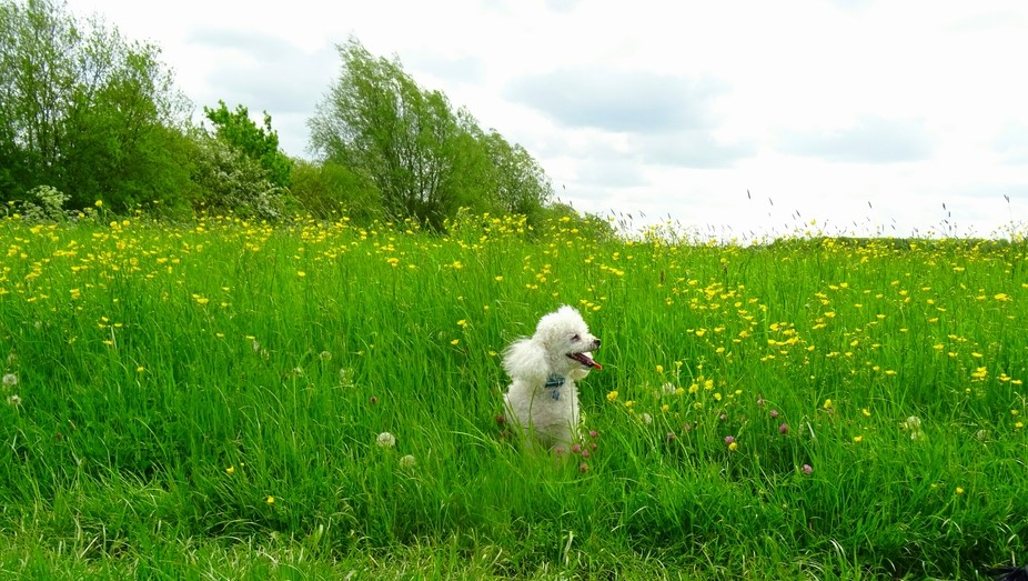 Captured our little toy poodle Charlie sitting amongst some buttercups at a beautiful haunt of ou...