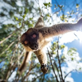 Common brown lemur in Madagascar Lemurs are wonderful! ..And close to extinction, too... because forests where they live are cut down mercilessly...