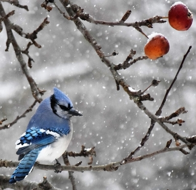 Bluejay on a snowy morning