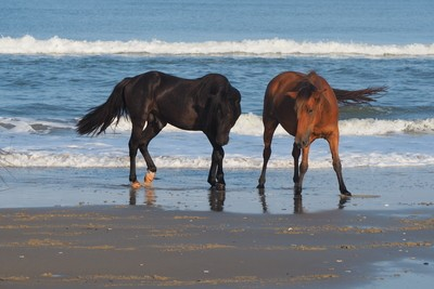 Stallion w-one of his mares