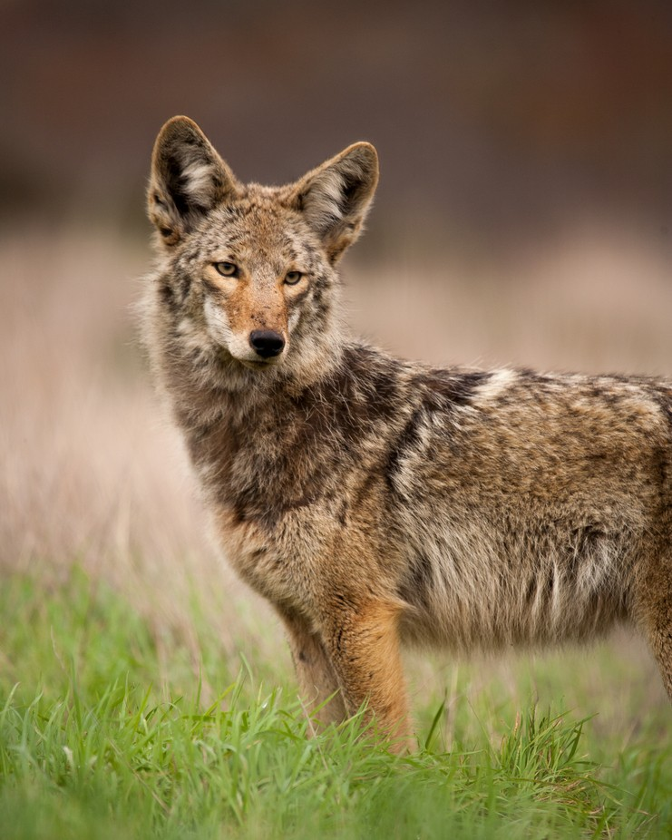 Coyote Beautiful by chriswhittier - The Brown Color Photo Contest