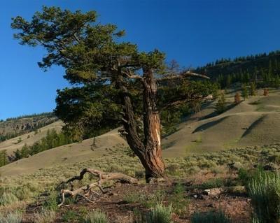Old Douglas Fir tree