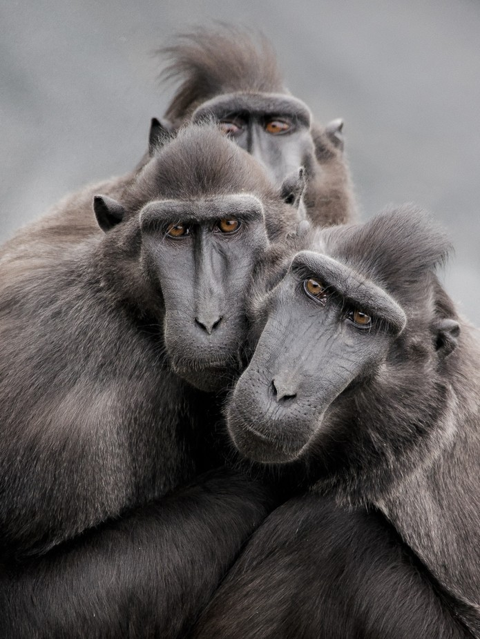 Tête noir by herionjeanclaude - Monkeys And Apes Photo Contest