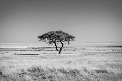 Lonely acacia tree, Etosha NP, Namibia