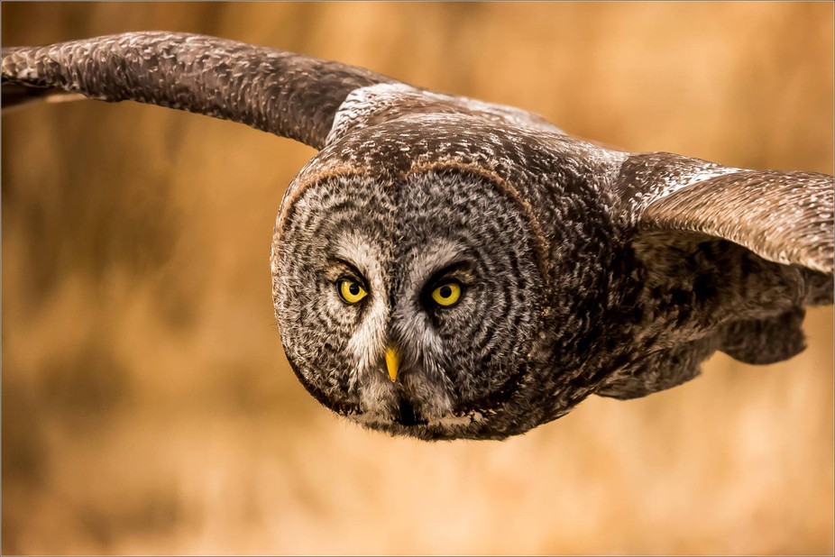 A Great Gray owl was circling a field about 100 yards away looking for a field mouse dinner when ...