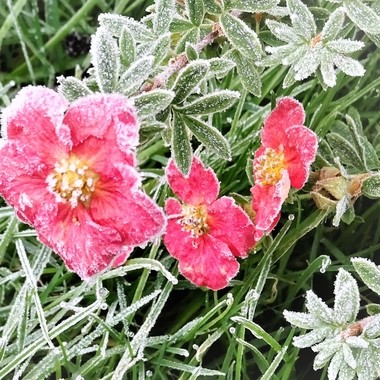 Out in my garden capturing photos of early frost on my the last remaining flowers of the season