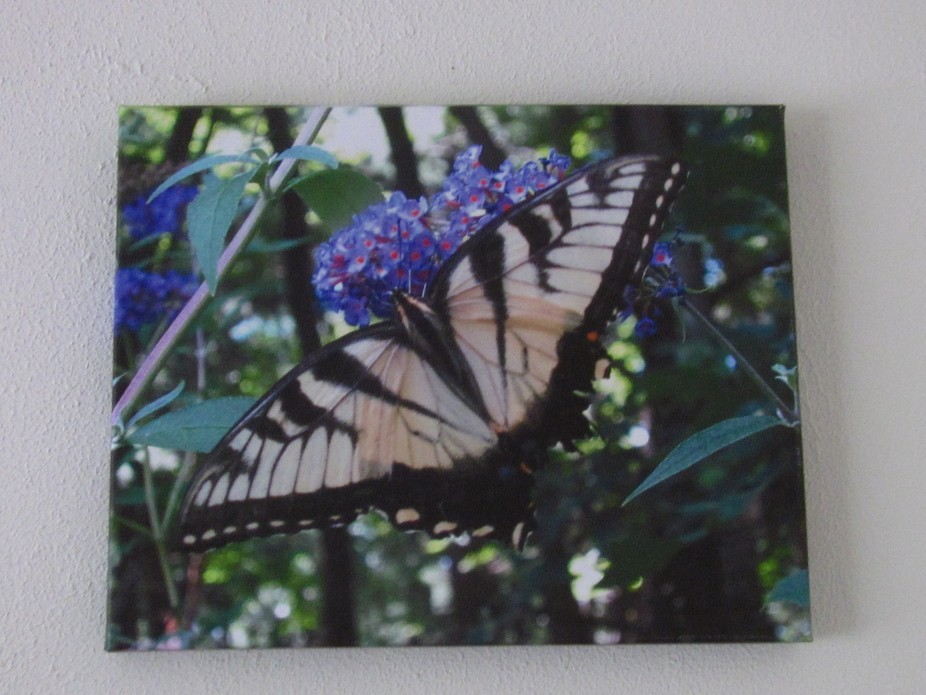 I waited for the butterfly to land on my butterfly bush and the camera was ready. I never expecte...