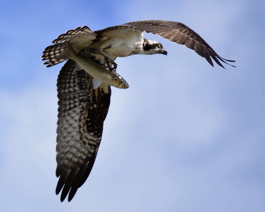 Osprey in flight with its Thanksgiving meal!