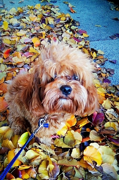 Small Dog in Autum Leaves