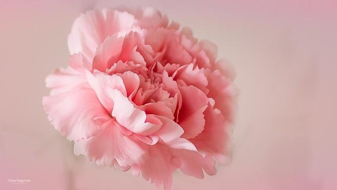 flower-3 by chrispegman - Pink Photo Contest
