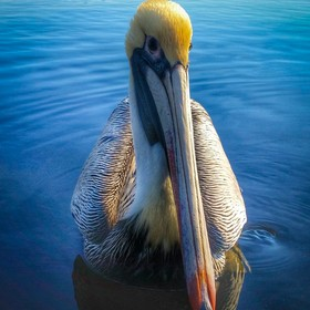 This pelican flew over with a lure stuck in his neck. My dad and I pulled it out, and it decided to be fabulous and pose for some shots.
