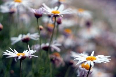 The not so common daisy