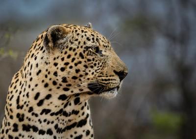 Leopard close up in S. Africa
