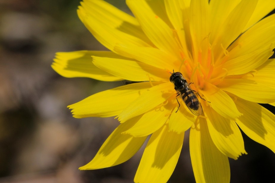 Wild Yam-Daisy growing in Central Victoria.