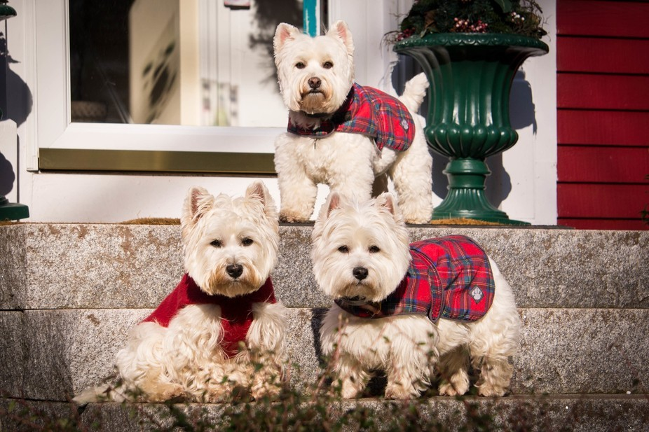 I am a dog walker/pet photographer. I showed up to walk these 3 dogs at Christmas Time & ...