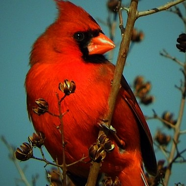 Edited copy of an earlier photo. Male Northern Cardinal taken this spring not long after my mother passed away. It was her favorite bird and I enjoy when I get a chance to capture a shot like this