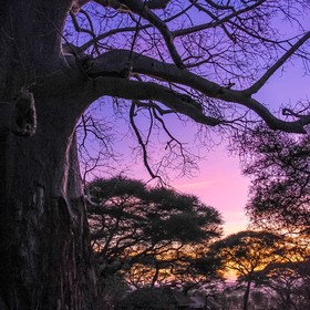 "On our last night, we were treated to a beautiful sunset peeking through a Baobab Tree and the trees below our ""tent"" at Swala Tented L..."