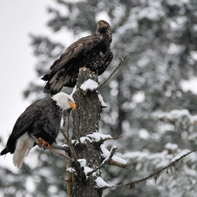 Taken near Lake Coeur d'Alene, Idaho on December 10, 2016 - a bald eagle adult and fledgling share a perch atop a snag, pausing in their fis...