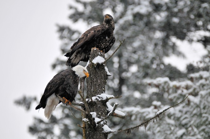 Bald Eagles by RodSchwartz - Just Eagles Photo Contest