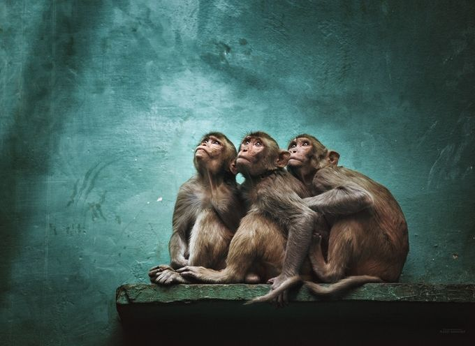 Triple trouble by Ethos - Monkeys And Apes Photo Contest